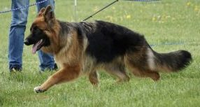 The Increasing Popularity Of German Shepherds