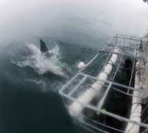 Witness The Hunter In Its Habitat With Shark Cage Diving